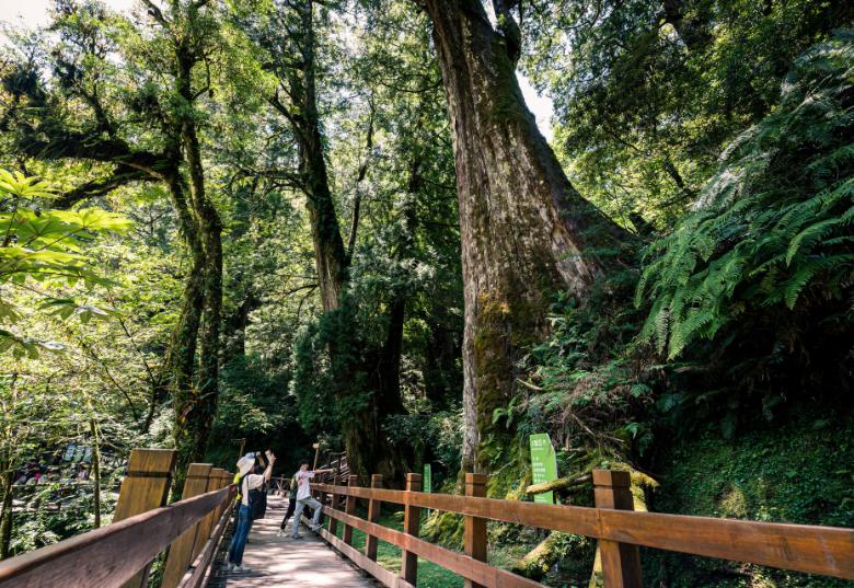 全台灣面積最大紅檜森林,淡淡的檜木香氣的新鮮